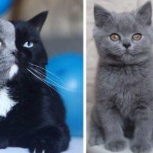 Gato com rosto de cor dividida torna-se pai de gatinhos em cada uma de suas cores