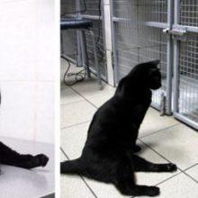 Gato paralisado se arrasta por uma clínica veterinária para apoiar cães doentes