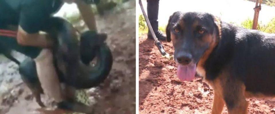 Homem não pensa duas vezes para salvar seu cão de ataque de Sucuri