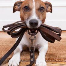 O tutor que não passear com seu cachorro será multado na Austrália