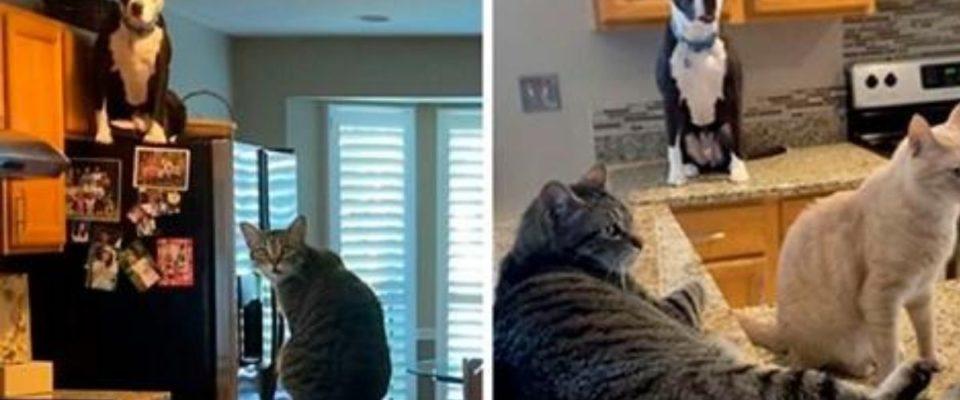 Pit Bull pensa que é um gato, e sua nova família continua postando fotos que provam isso
