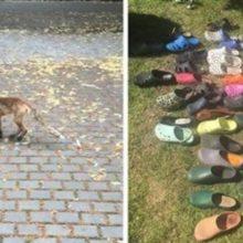Raposa é flagrada roubando sapatos das pessoas, foi encontrado com ela mais de 100 sapatos