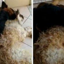 Cão Chora Muito Pensando Que Amigo Anestesiado Tinha Morrido, Assista