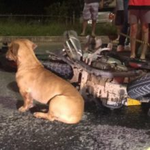 Cão Enlutado Chora Em Local De Acidente De Trânsito e Emociona a Todos