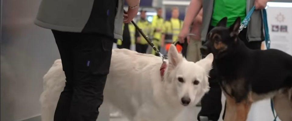 Quase 100% de precisão : Aeroporto usa cães farejadores para detectar Covid