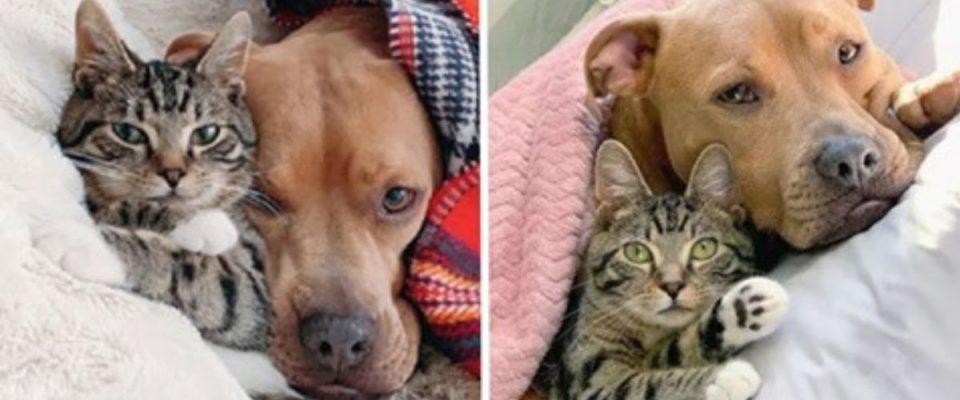 Um cachorro Pitbull resgatado virou melhor amigo de um gato