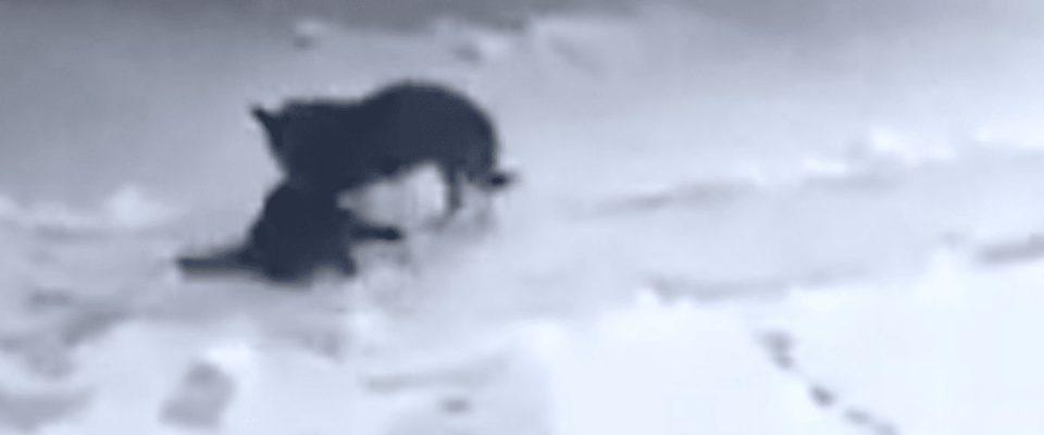 Cão arrasta um gato congelado pela neve para dentro da sua casa para aquecer ele