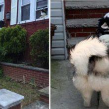 Cãozinho exige visitar a casa do seu amigo todos os dias em cada caminhada
