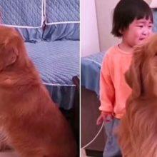 Golden Retriever defende garotinha da repreensão de sua mãe