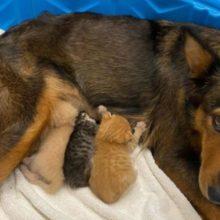Mamãe canina da rua perde seus filhotes, mas adota gatinhos órfãos
