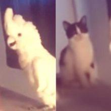 Cacatua imita miado e confunde gatos : Deve ser um primo perdido
