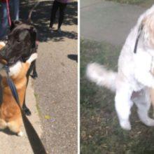 Cachorro amigável para e abraça cada cão que encontra em suas caminhadas