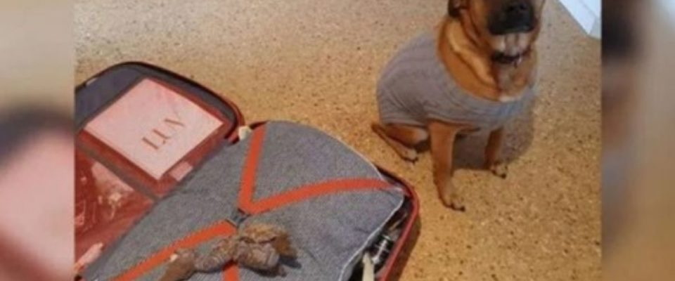 Cachorro coloca seu brinquedo favorito na mala do seu amigo para que ele leve com ele