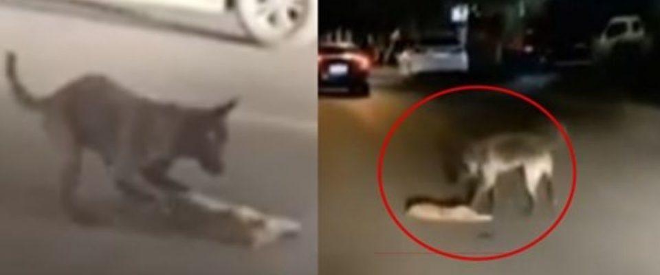 Cachorro tenta resgatar um gato atropelado, a sua atitude foi emocionante