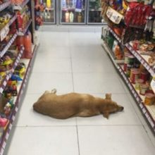 Loja abre suas portas para cachorro de rua durante a onda de calor