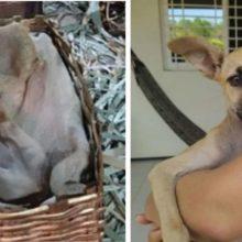 Cachorro abandonado que se refugiou em um presépio é adotado