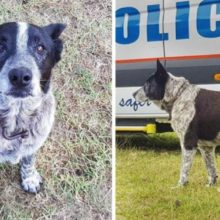 Cachorro surdo e parcialmente cego de 17 anos manteve criança desaparecida segura e leva os socorristas até ela