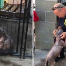 Cãozinho deprimido em um abrigo encontra a felicidade depois de ser adotado pelo bombeiro que o salvou