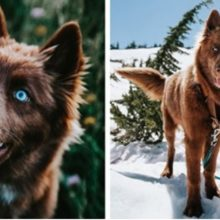 Este raro Husky siberiano chocolate é um dos cães mais bonitos do Instagram