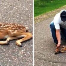 Homem vê filhote de cervo paralisado de medo na estrada e para para ajudar ele