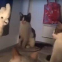 Cacatua mia como um gato e confundi seus amigos gatos