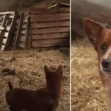 Cachorro chora emocionado de alegria quando finalmente reencontra a vaca que o criou
