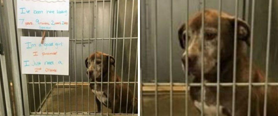 Cachorro espera no abrigo por mais de 7 anos, implora a alguém para lhe dar uma segunda chance
