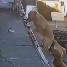 Cachorro sobe na escada sozinho até o telhado da sua casa