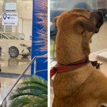 """Concessionária Hyundai adota cão de rua e contrata como """"cãosultor de vendas"""""""
