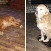 Mulher acidentalmente compra cama pequena para o seu cão e ele finge está tudo bem