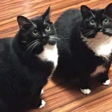 Perca o gato, procure o gato, encontre o gato, seu gato retorna sozinho e agora ele tem 2 gatos idênticos