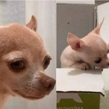 Cachorrinho em luto tem reação adorável quando conhece sua nova irmãzinha
