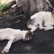 Cachorro foi atropelado e seu amigo cuidou dele até o resgate chegar