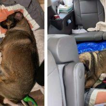 EMOCIONANTE – Família do Texas passa 12 horas no carro para que a cachorrinha dê à luz