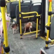 Motorista de ônibus quebra regras para salvar cachorros de rua da tempestade