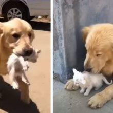 Cachorro atencioso saiu para dar uma volta e voltou com um gatinho perdido que ele acabou de resgatar