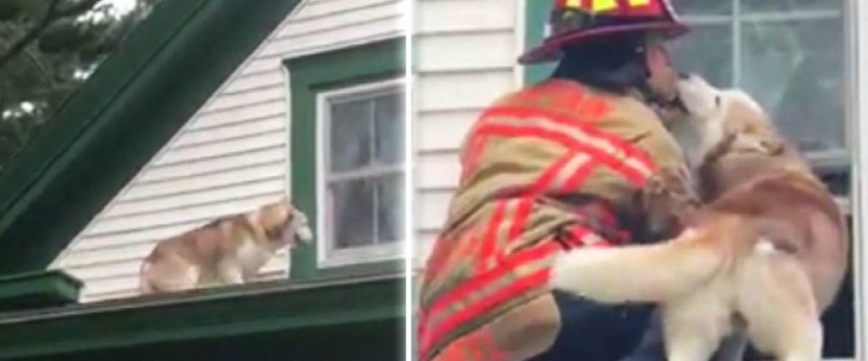 Cachorro dá doces lambeijos ao bombeiro que o salvou do telhado