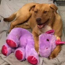 Cão de rua roubava um unicórnio de pelúcia, então o controle de animais comprou para ele