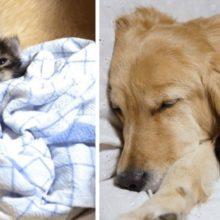 Golden Retriever adota um gatinho órfão rejeitado por sua mãe
