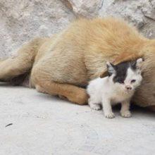 O gatinho órfão encontra uma mãe canina que perdeu toda a ninhada e se torna o filhote que ela nunca teve