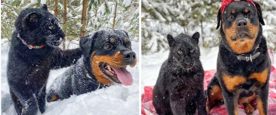 Pantera rejeitada pela mãe está vivendo uma vida maravilhosa com humanos e cães