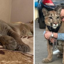 Puma resgatado do zoológico não pode ser liberado na selva, vive como um gato doméstico mimado