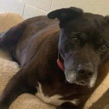 Após 11 anos em um abrigo, cachorro idoso finalmente encontra seu final feliz