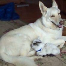 Cachorro adota um bebê cabrito e cuida dele como se fosse seu próprio filhote