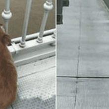 Cachorro com o coração partido espera na ponte por quatro dias depois de testemunhar seu tutor pulando no rio