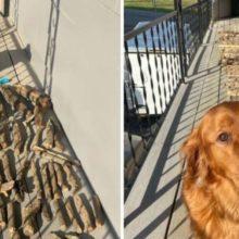 Cachorro mostra com orgulho ao seu pai humano sua coleção de galhos