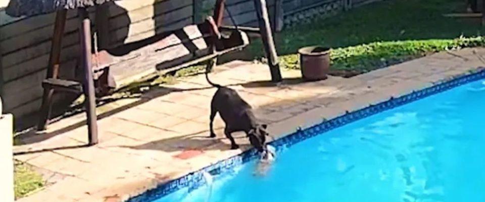Cachorro salva seu pequeno amigo canino de se afogar na piscina