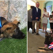 Cão policial é demitido do trabalho K-9 por ser muito fofo e amigável, mais tarde consegue um trabalho ainda melhor