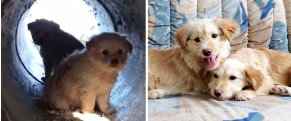 Dois adoráveis cachorrinhos foram resgatados em um tubo de esgoto e cresceram lindamente
