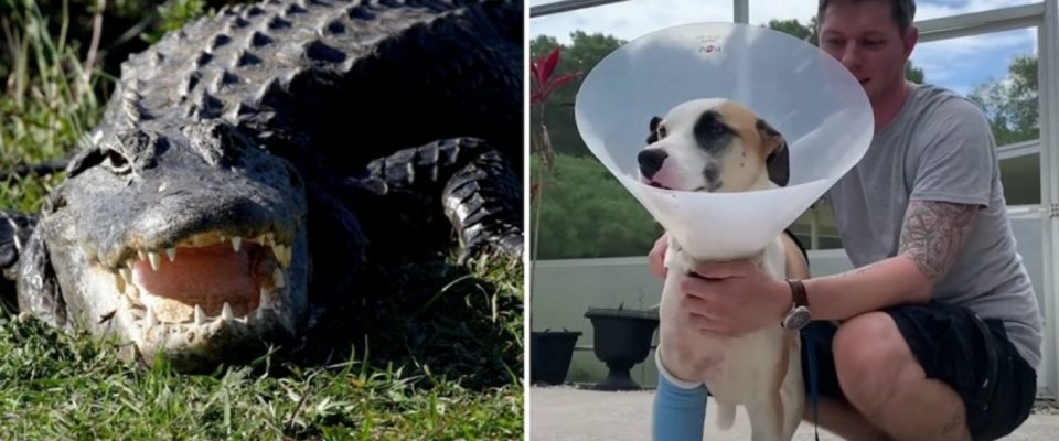 Ex-sargento do Exército luta contra um jacaré para salvar seu cachorro